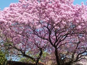 「ラパチョ」は桜のようにパラグアイを代表する花です。