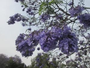 桜がうまく根付かなかったので、ブラジルから「ハカランダ」をもってきて植えたそうです。今ではメキシコのあちこちに咲いています。
