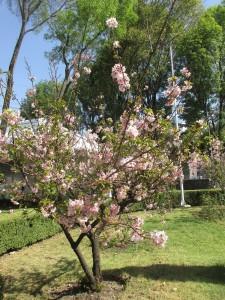 メキシコに移民した人々は何度か桜を根付かせようとしたのですが、気候が違うためうまくいきませんでした。再チャレンジでやっと根付いた桜が「日墨協会」の庭園に咲いていました。
