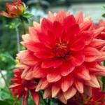 ダリアさんは、赤いダリアが大好きだそうです。花言葉は、「華麗」です。